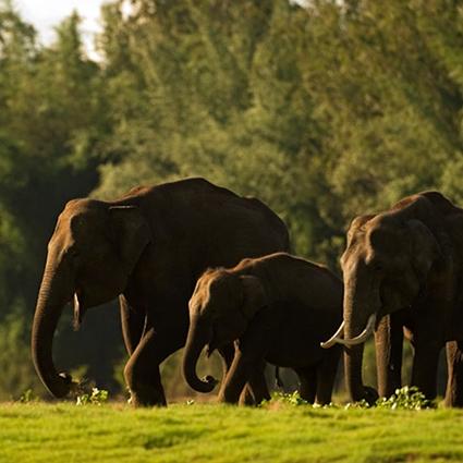Srilankan elephants wild life